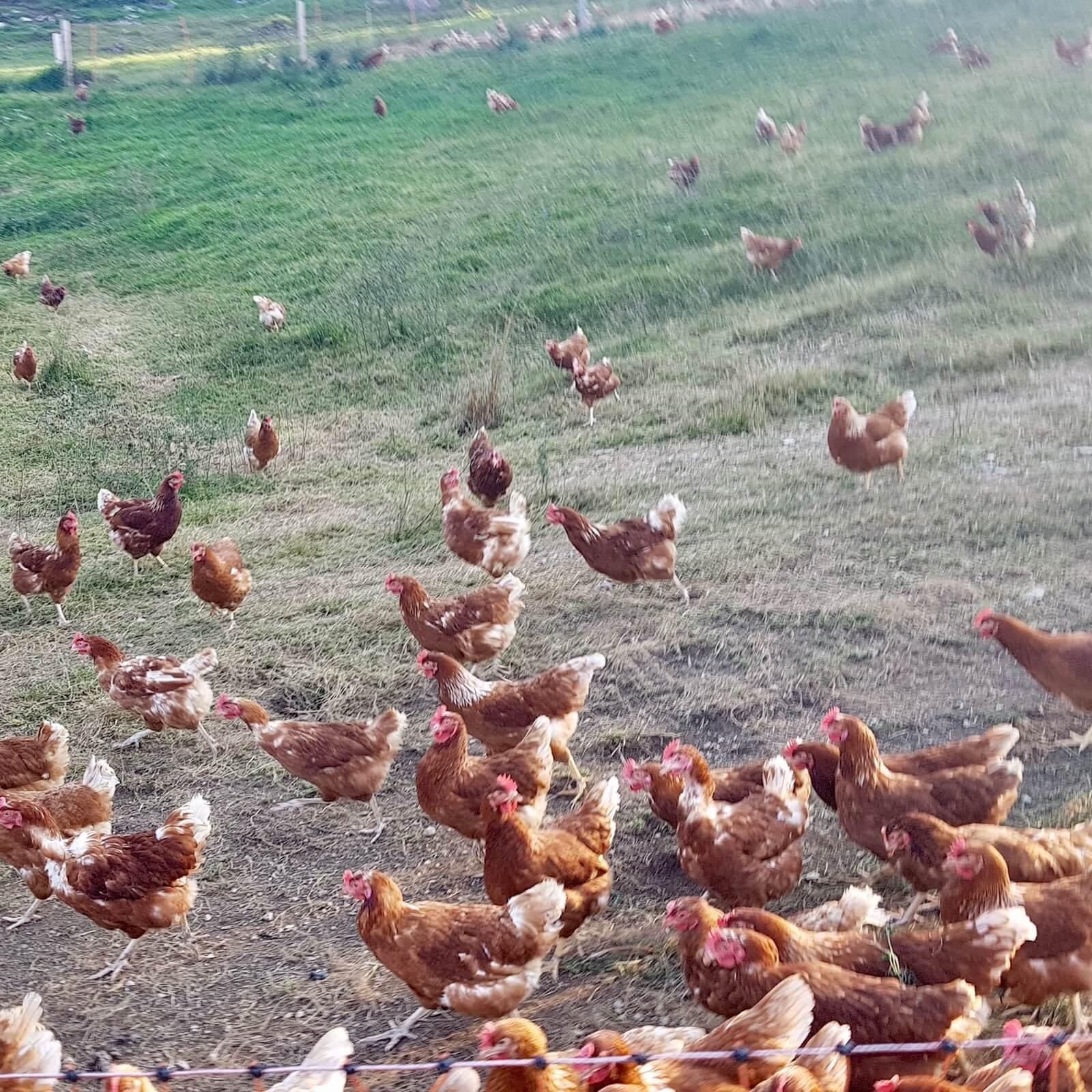 Jajca pašne reje iz kmetije Selevc