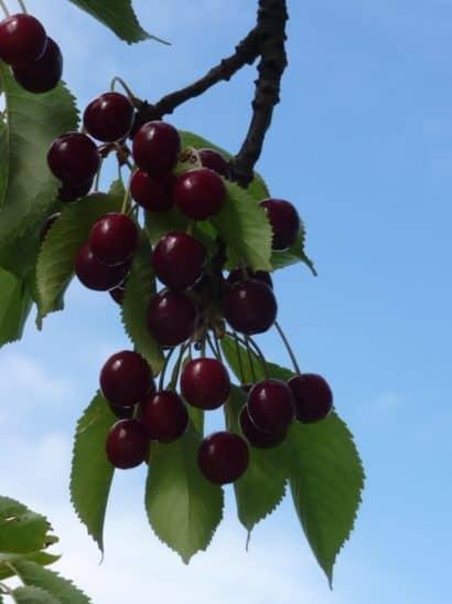 Zrele eko češnje na veji